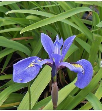 Iris Laevigata x Versicolor Tamberg-barerooted