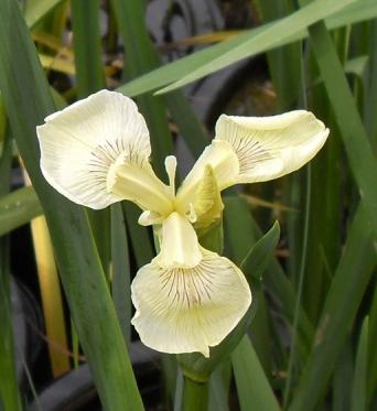 Iris Pseudacorus Sulphur Queen-barerooted