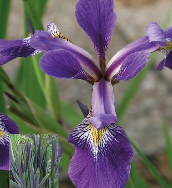 Iris Versicolor Dark Aura-barerooted