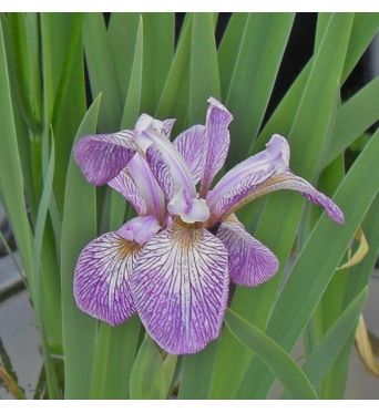 Iris Versicolor Mint Fresh-barerooted