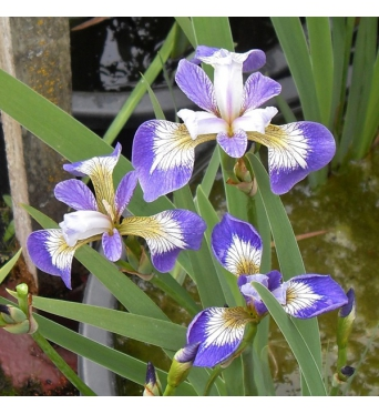 Iris Versicolor Rowden Cantata-barerooted