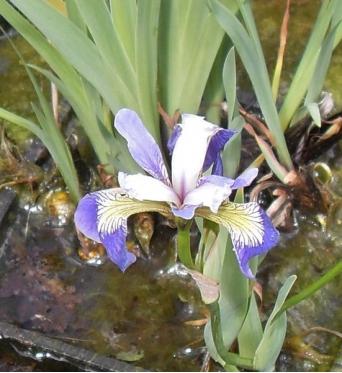 Iris Versicolor Rowden Lyric-barerooted