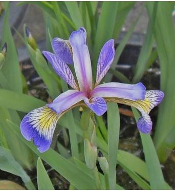 Iris Versicolor Rowden Sonata-barerooted