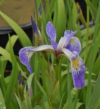 Iris Versicolor x Pseudacorus Limbo-barerooted