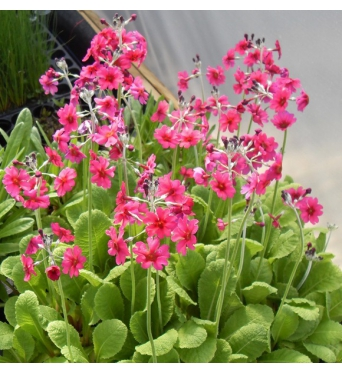 Primula Pulverulenta-large plug plants