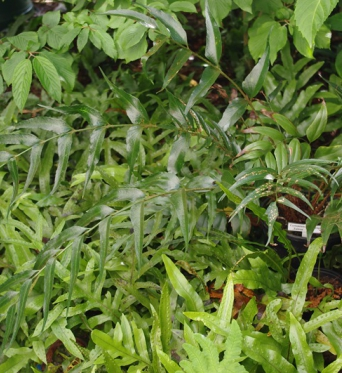 Polystichum Devexiscapulae-9 cm pots