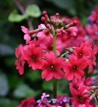 Primula Japonica Millers Crimson-large plug plants