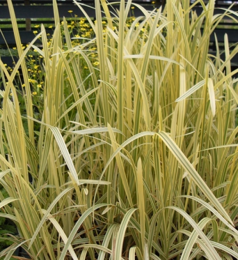 Glyceria Maxima Variegata-9 cm pots