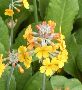 Primula Bulleyana-large plug plants