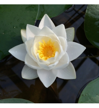 Nymphaea Siam Jasmin-EXCLUSIVE-barerooted