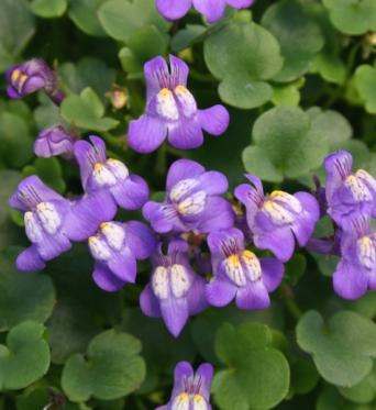 Cymbalaria Muralis-plug plants