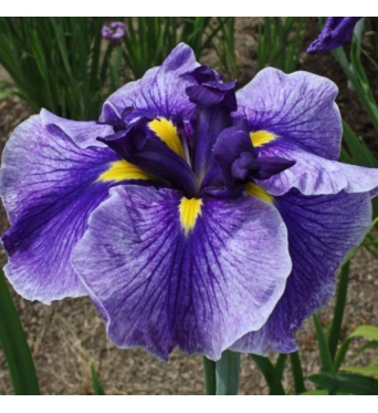 Iris Ensata Tessa Dark Eyes-barerooted