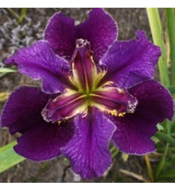 Iris Louisiana Fauborg Saint John-barerooted