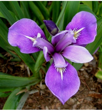 Iris Versicolor Belerieve Harmony-barerooted