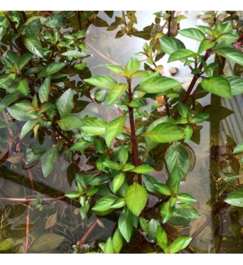 Ludwigia Palustris-bunched