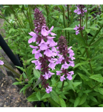 Stachys Palustris-1 litre pot