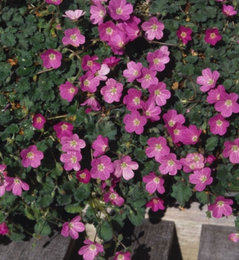 Erodium x Variable Bishops Form-plug plants
