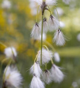 Eriophorum Latifolium-7 cm pot