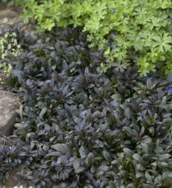 Ajuga Reptans Chocolate Chip-plug plants