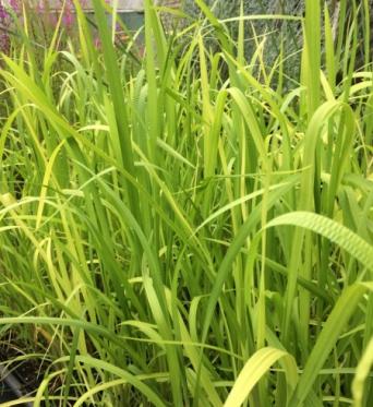 Glyceria Maxima-9 cm pots