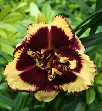 Hemerocallis Tiger Blood-1 litre pots