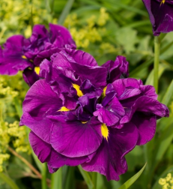 Iris Ensata Eileens Dream-barerooted