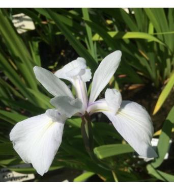 Iris Laevigata Alba-barerooted