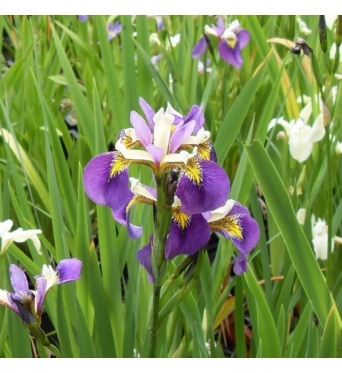 Iris Pseudacorus Regal Surprise-barerooted