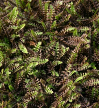 Leptinella Platts Black-plug plants