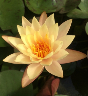 Nymphaea Hawain Gold-EXCLUSIVE-barerooted