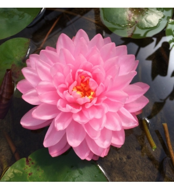 Nymphaea Pink Pom Pom-EXCLUSIVE-barerooted