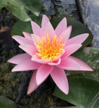 Nymphaea Pink Sensation-barerooted