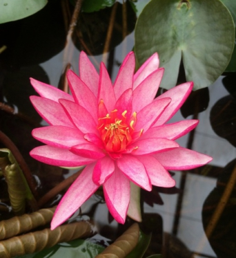 Nymphaea Ruby Star-EXCLUSIVE-barerooted