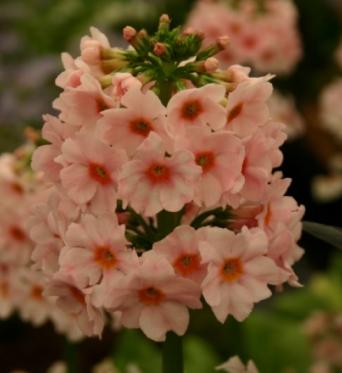 Primula Japonica Apple Blossom-large plug plants