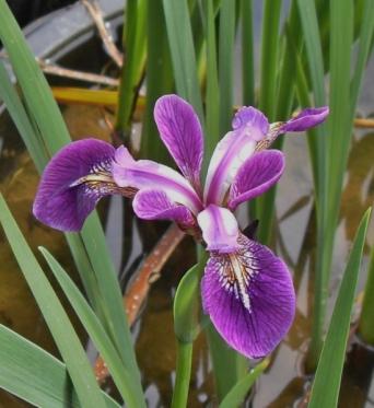 Iris Versicolor Rowden Calypso-barerooted