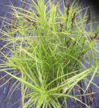 Carex Muskingumensis Oehme-9 cm pots