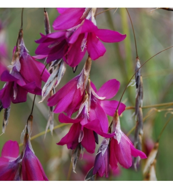 Dierama Blackberry Bells- 7cm pots