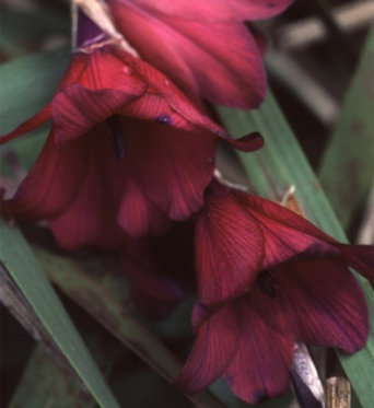Dierama Blackbird-7 cm pots