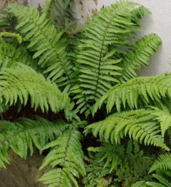 Dryopteris Kuratae-9 cm pots