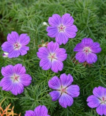 Geranium Inarnum-plug plants