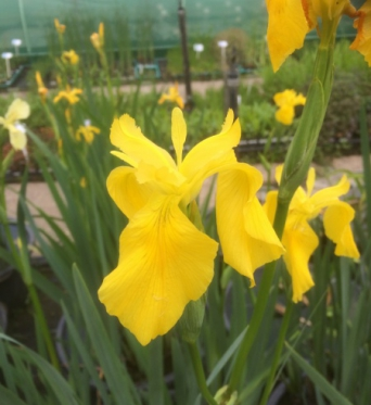 Iris Pseudacorus Golden Queen-barerooted