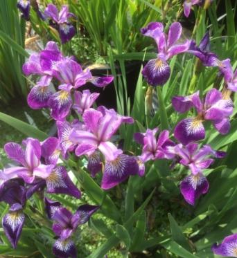 Iris Versicolor Rowden Allegro-barerooted