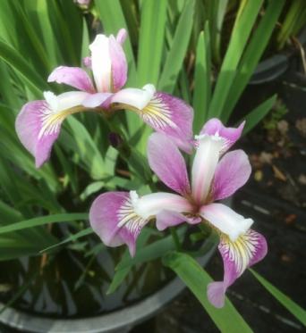 Iris Versicolor Rowden Aria-barerooted
