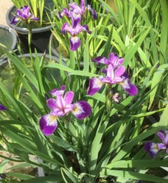 Iris Versicolor Rowden Electro-barerooted