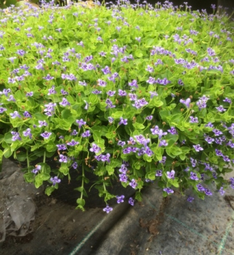 Lindernia Grandiflora-7 cm pots