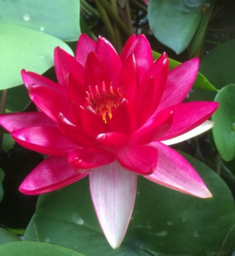 Nymphaea Black Cherry-NEW EXCLUSIVE TO THE UK-barerooted