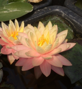 Nymphaea Ori Flame-EXCLUSIVE-barerooted