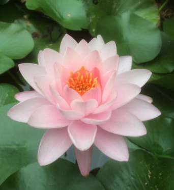 Nymphaea Siam Angel-EXCLUSIVE-barerooted