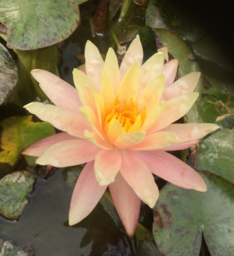 Nymphaea Sunset Dawn-barerooted