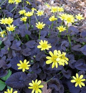 Ranunculus Ficaria Brazzen Hussy-7 cm pots